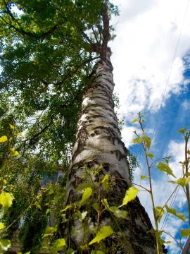 birch